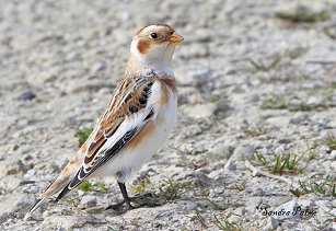 Male Snow Bunting photo