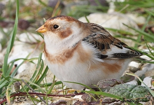 Male Snow Bunting close-up photo