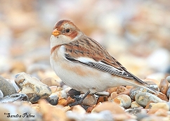 snow bunting West Sussex