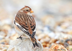 female snow bunting