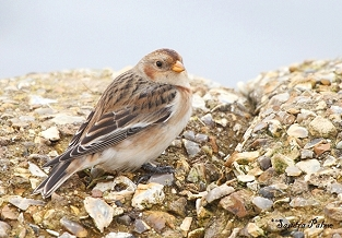 Female Snow Bunting photo