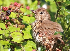 song thrush with blackberries
