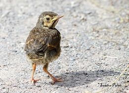 Song Thrush Fledgeling