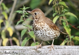 Juvenile Song Thrush photo