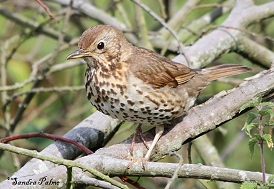 Juvenile Song Thrush picture