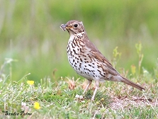 song thrush with snail photo
