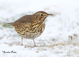 Song Thrush in the snow