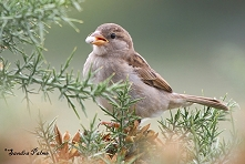 Male Sparrow picture