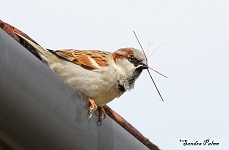 Male Sparrow with nesting material