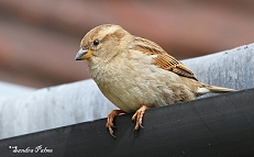 Female Sparrow photo