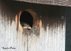 house sparrow chick in nest box
