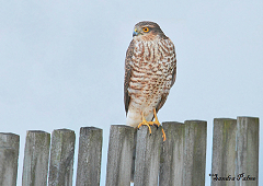 immature male sparrowhawk