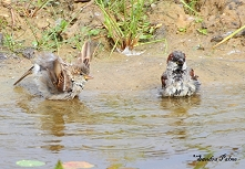 House Sparrows having a bath