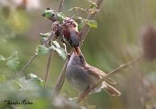 House Sparrow feeding young