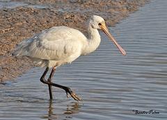 Spoonbill wading bird