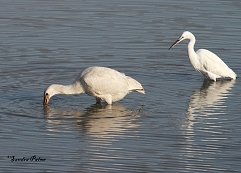 Spoonbill and Little Egret