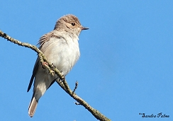 spotted flycatcher in the sunshine