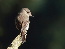 spotted flycatcher Ashdown Forest