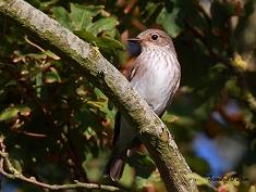 spotted flycatcher on migration