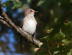 spotted flycatcher Pagham