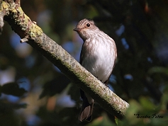spotted flycatcher West Sussex