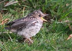 spotted flycatcher fledgling begging for food