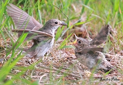 adult spotted flycatcher feeding fledgling