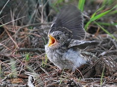 spotted flycatcher fledgling photo