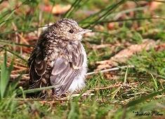 spotted flycatcher fledgling bird