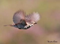 spotted flycatcher in flight