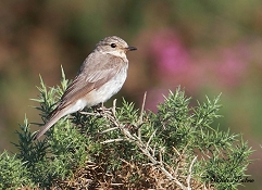 spotted flycatcher on gorse