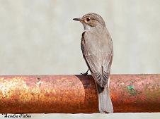 spotted flycatcher on fence photo
