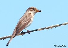 spotted flycatcher with insect