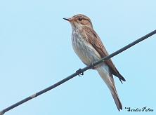 spotted flycatcher Muscicapa striata photo