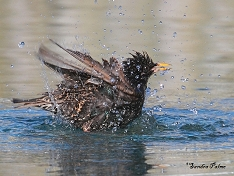 starling having a bath