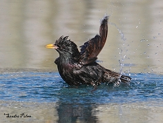starling having a wash