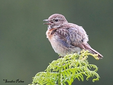 female stonechat calling