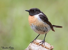 male stonechat picture