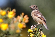 Juvenile Stonechat photo