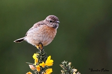 Female Stonechat picture