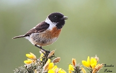 Male Stonechat singing