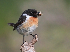 stonechat with grasshopper