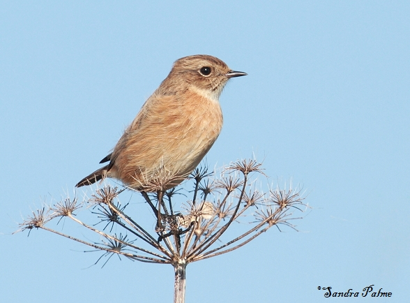 stonechat West Sussex