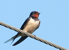 barn swallow East Sussex