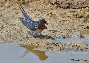 Barn swallow collecting nesting material