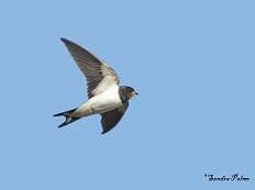 barn swallow Sussex