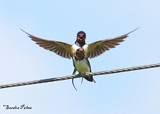 barn swallows mating