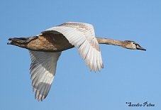 Swan in flight photo