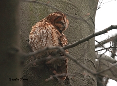 tawny owl preening