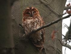 male tawny owl Strix aluco